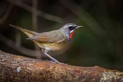 Right side of Siberian Rubythroat. (Calliope calliope) on the wood in nature of Thailand Stock Photo