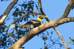 Right side of Young Great hornbill (Buceros bicornis) Stock Image