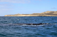 Right Whale in the Atlantic Ocean. Puerto Piramides. Royalty Free Stock Photos