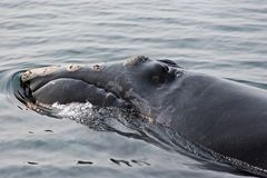 Right Whale Close-Up Stock Images