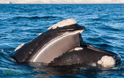A Right Whale filtering food. A Right Whale in Peninsula Valdes, Argentina stock photos