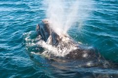 A Right Whale in Patagonia Royalty Free Stock Photo