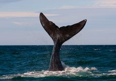 A Right Whale in Patagonia. A Right Whale in Peninsula Valdes, Argentina stock images