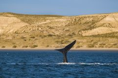 Right whale, Patagonia , Argentina. Peninsula de Valdes Royalty Free Stock Photography