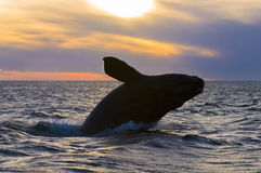 Right Whale, Patagonia , Argentina. Peninsula de Valdes Stock Photo