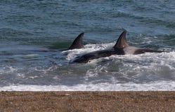 Right whale, Patagonia , Argentina. Peninsula de Valdes Royalty Free Stock Photos