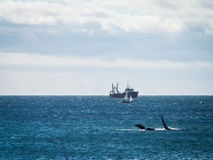 Right Whale Surfacing And Ship Stock Photos
