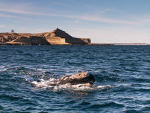 Right Whale Surfacing Royalty Free Stock Image
