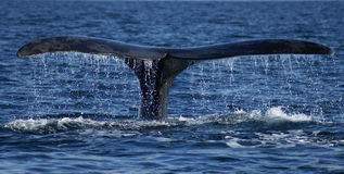 Right whale tail Stock Photos