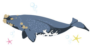 Right whale whale icon isolated on white background cartoon realistic whale Stock Images