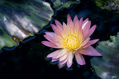 Rightly Colored Water Lily or Lotus Flower Floating on Pond Stock Photography