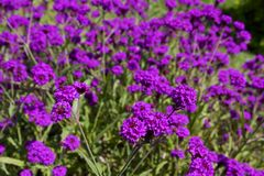 Rigid Verbena. Purple flowers of Rigid Verbena Royalty Free Stock Photos