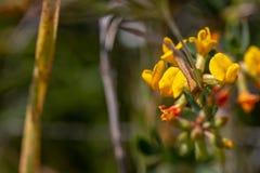 Rigidus Shrubby de Deervetch Lotus, ervilha da rocha do deserto fotografia de stock royalty free
