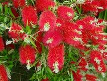 Rigidus vermelho do fluff fotografia de stock