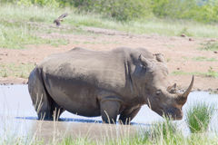 A rihino stands in a pool of water in the Hluhluwe/Imfolozi National Park in South Africa. royalty free stock photos