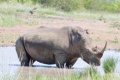 Rihino stojaki w basenie woda w Hluhluwe/Imfolozi parku narodowym w Południowa Afryka Zdjęcia Royalty Free