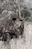 Rihno mellan gräset i kruger fotografering för bildbyråer