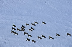 Αποικία ραφιών πάγου Riiser Larsen θάλασσας της Ανταρκτικής Weddell του αυτοκράτορα Penguin Στοκ εικόνα με δικαίωμα ελεύθερης χρήσης