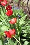 Rij van bloeiende rode tulpen Stock Afbeelding