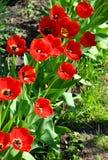 Rij van bloeiende rode tulpen Stock Foto