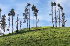 Rij van bomen in theeaanplanting Royalty-vrije Stock Afbeelding