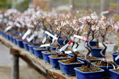 Rij van bonsaibomen Royalty-vrije Stock Foto