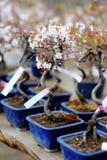 Rij van bonsaibomen Royalty-vrije Stock Afbeeldingen