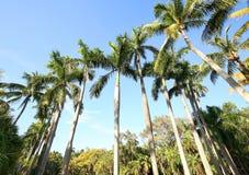 Rij van de lange Koninklijke Palmen van Florida stock fotografie