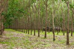 Rij van de rubberaanplanting van paragraaf in Zuiden van Thailand royalty-vrije stock foto