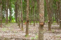 Rij van de rubberaanplanting van paragraaf in Zuiden van Thailand royalty-vrije stock foto's