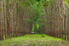 Rij van de rubberaanplanting van paragraaf in Zuiden van Thailand stock afbeeldingen
