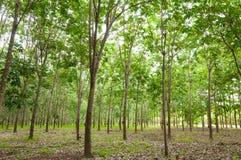 Rij van de rubberaanplanting van paragraaf in Zuiden van Thailand stock foto