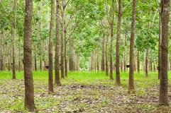 Rij van de rubberaanplanting van paragraaf in Zuiden van Thailand royalty-vrije stock afbeeldingen