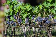 Rij van Druiven Klaar voor Oogst in Italië Royalty-vrije Stock Fotografie