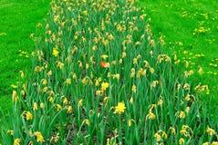 Rij van gele tulpen die met overlevende rode bloeiende tulp verwelken Stock Fotografie