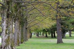 Rij van grote esdoornbomen Stock Afbeeldingen