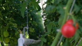 Rij van installaties in serre met twee tomaten in nadruk daarna stock videobeelden