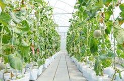 Rij van Japanse meloenen of groene meloen of kantaloepmeloeneninstallatie Stock Foto's