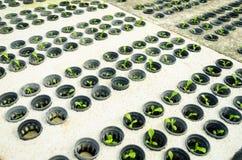 Rij van jonge groene cos.sla butterhead - hydrocultuur vegetab Stock Foto