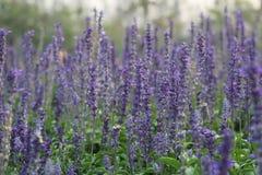 Rij van lavendel Stock Foto