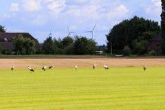 Rij van ooievaars in Nederlandse weide, Brummen Stock Afbeelding
