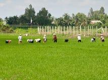 Rij van padieveldarbeiders Stock Foto