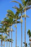 Rij van palmen op een blauwe hemel Royalty-vrije Stock Foto