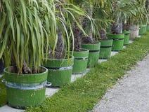 Rij van palmzaailingen Royalty-vrije Stock Afbeeldingen