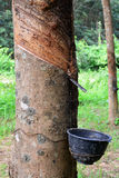 Rij van Paragraaf-Rubberboom in aanplanting Stock Afbeeldingen