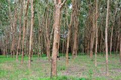Rij van Paragraaf-Rubberboom in aanplanting Royalty-vrije Stock Fotografie