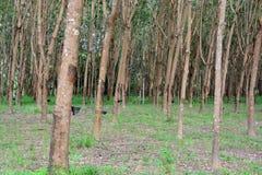 Rij van Paragraaf-Rubberboom in aanplanting Royalty-vrije Stock Foto's