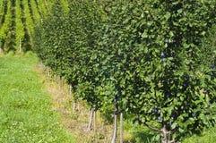 Rij van pruimbomen in een boomgaard Royalty-vrije Stock Afbeeldingen