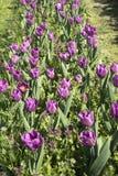 Rij van Purpere Tulpen Stock Foto