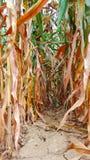 Rij van rijpe die maïskolven worden gezien van onderaan royalty-vrije stock afbeelding